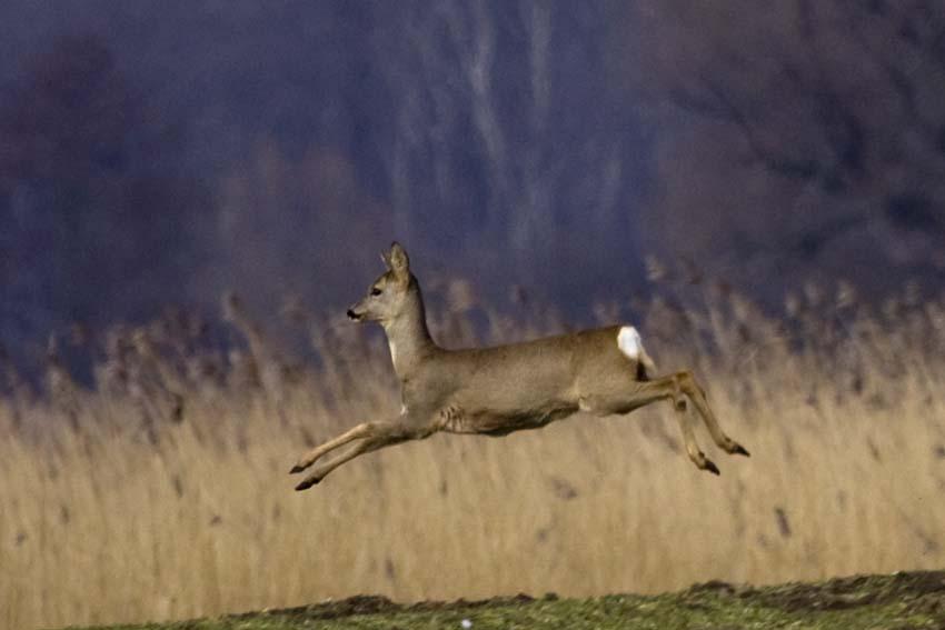 Und wie sie springen