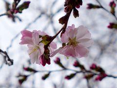 Und wieder beginnt die Kirschblüte