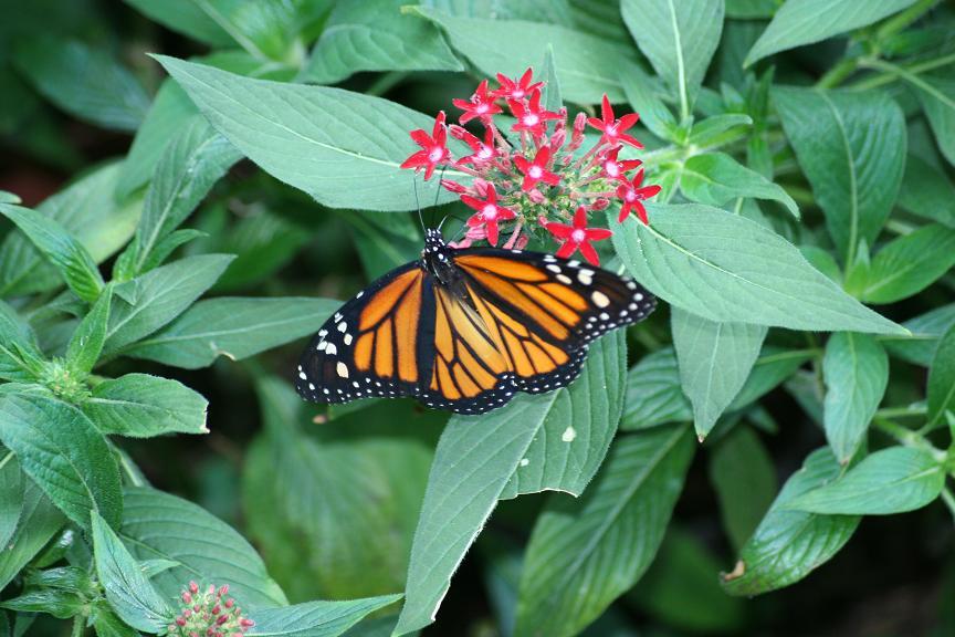 und wieder ein Schmetterling....