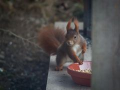 und wieder mal ein Eichhörnchen