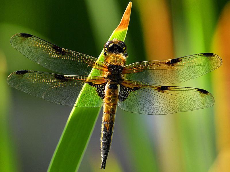... und wieder ne Libelle ....