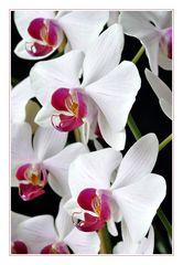 und wieder Phalaenopsis