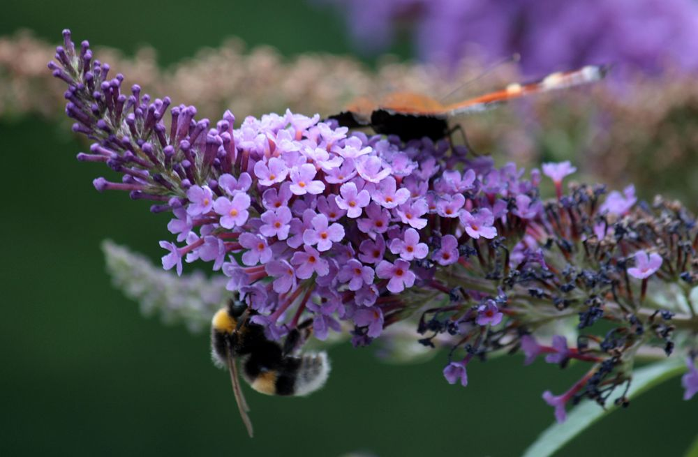 und zwischen den Schmetterlingen jede Menge Hummeln