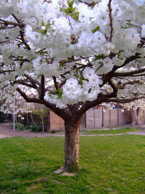 underneath the blossom tree