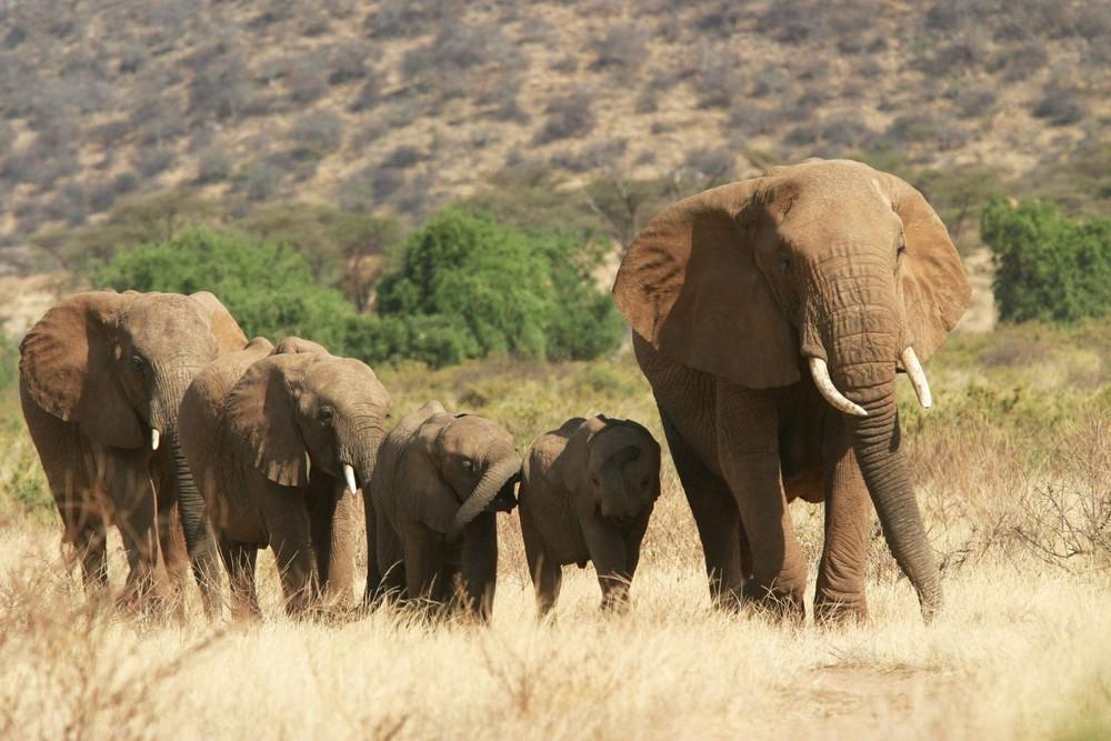 Une belle petite famille d'éléphants - Samburu / Kenya - On rentre du boulot !