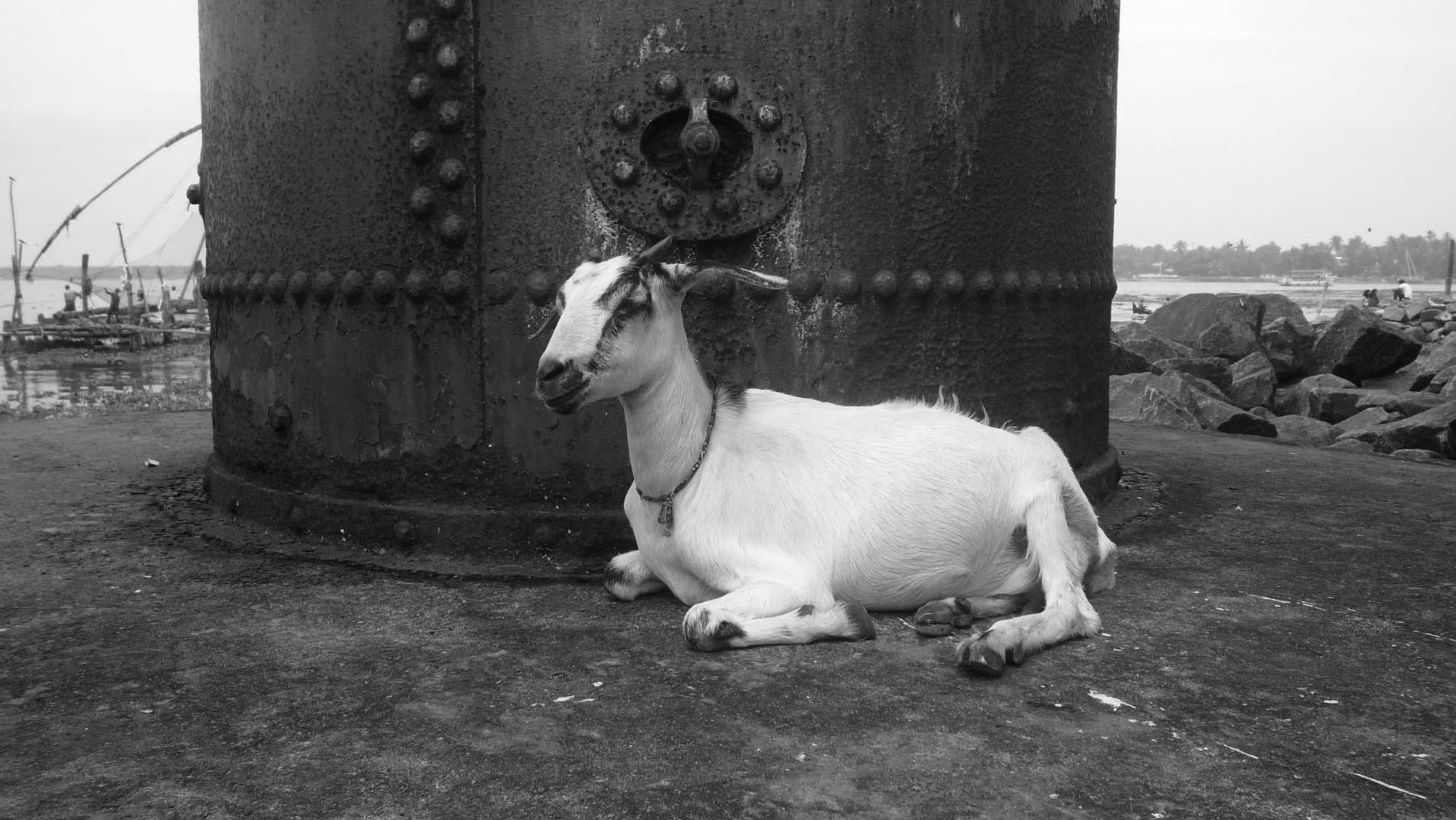 Une chèvre a Fort Cochin