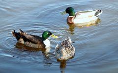 une famille canards sauages 6