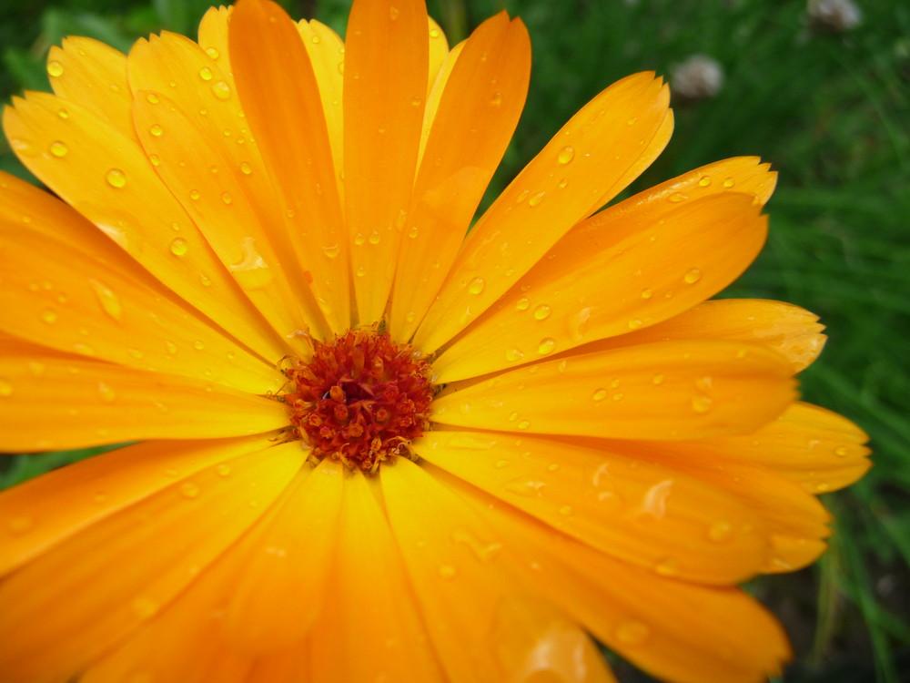 Une Fleur, après l'averse.