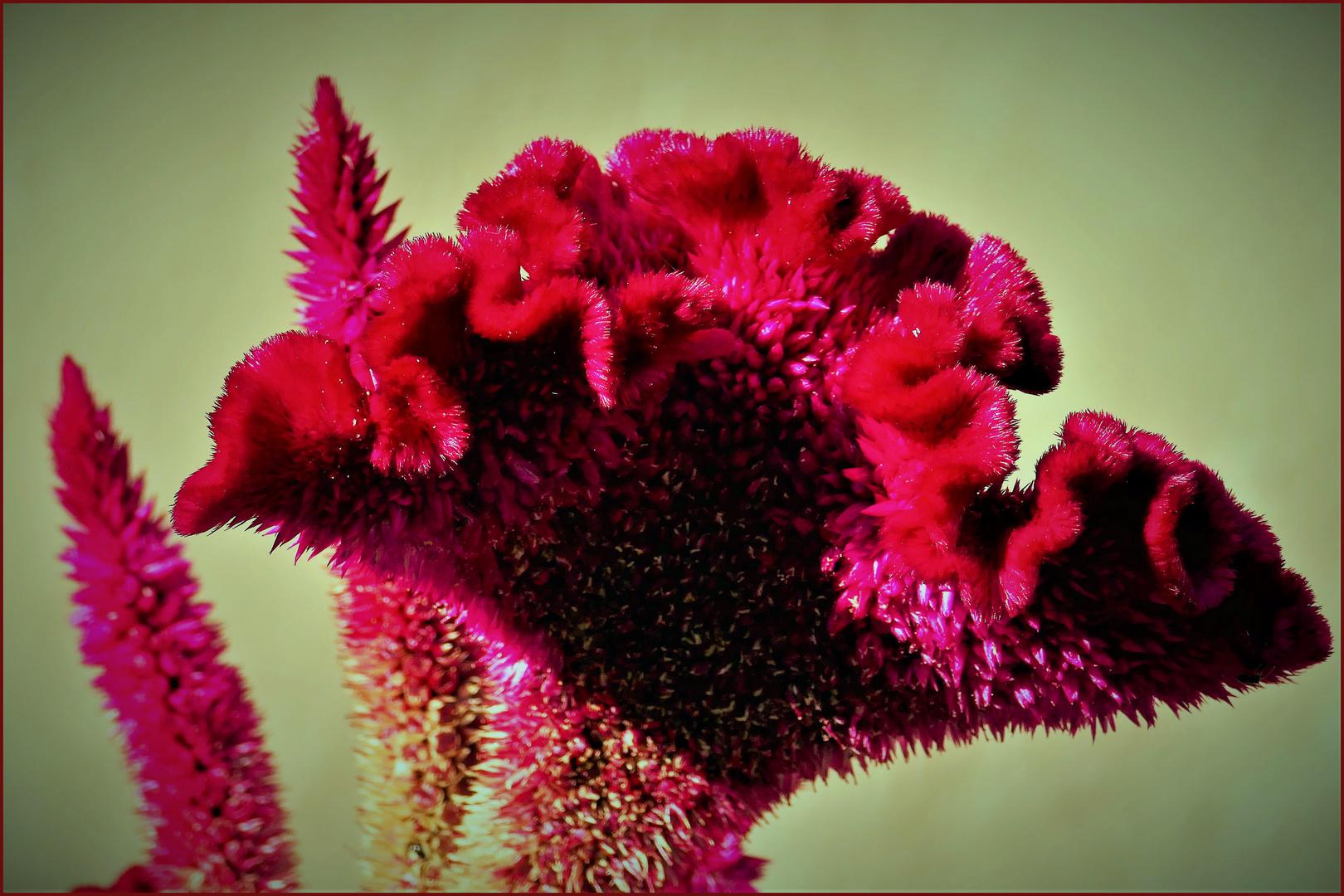 une fleur qui semble en velours....très décorative!