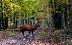 """"""" Une forêt en or pour son roi """""""