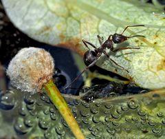 Une fourmi part à l'aventure! - Eine abenteuerliche Ameise!