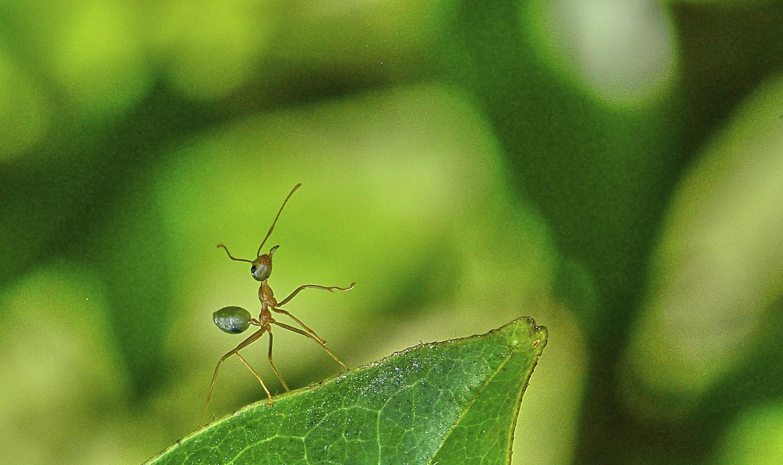 Une fourmi verte, qui...