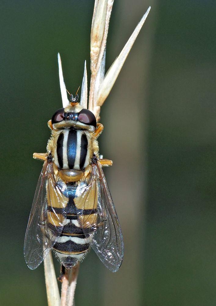 Une mouche en habit de fête! - Gemeine Sonnenschwebfliege (Helophilus pendulus)