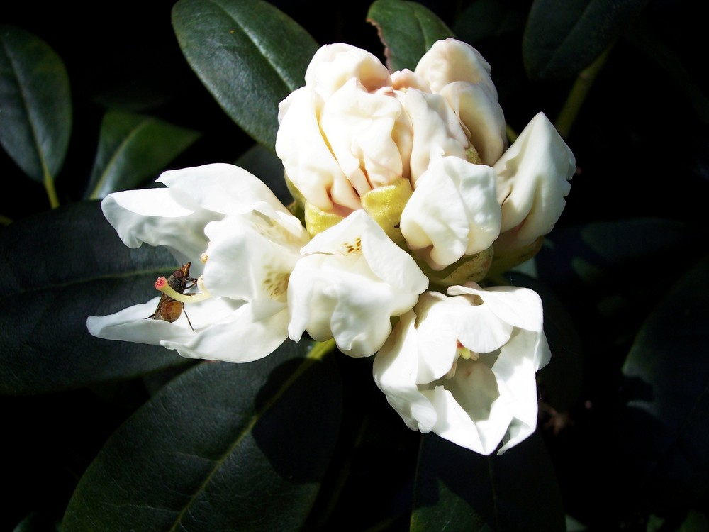 Une mouche sur son Rhododendron : )