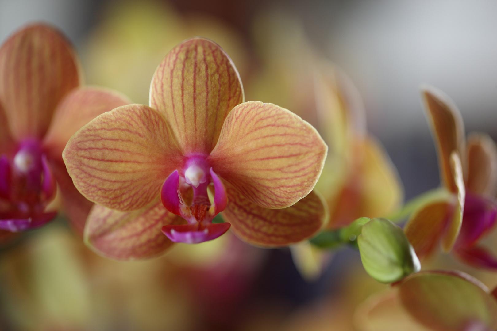 Une orchidée parmi beaucoup d'autres...