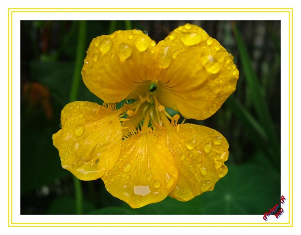 une petite fleur après la pluie