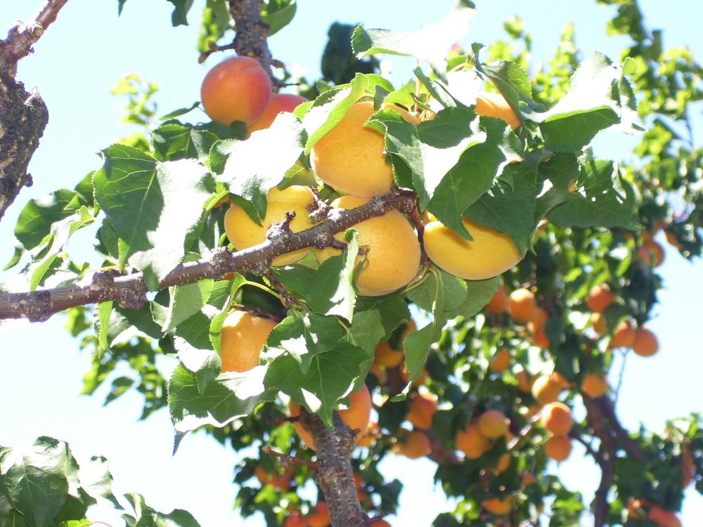 Une Poignée d'abricots en Provence