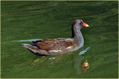 une  poule d eau de toutes les couleurs ....