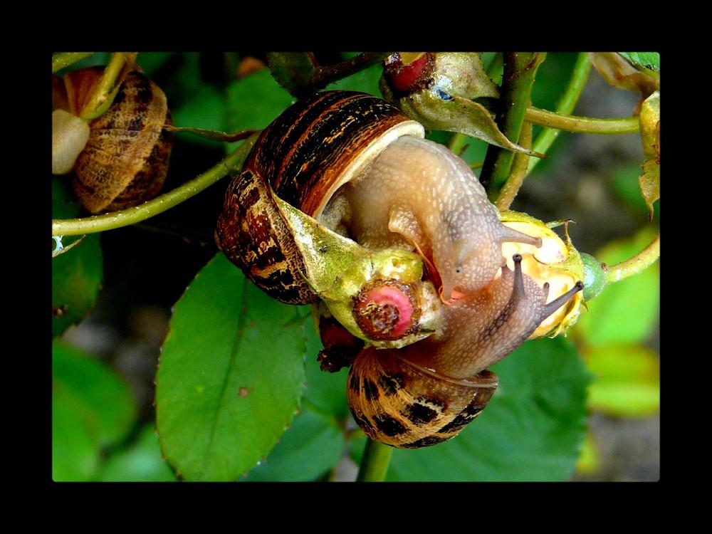 une prarade d' escargots