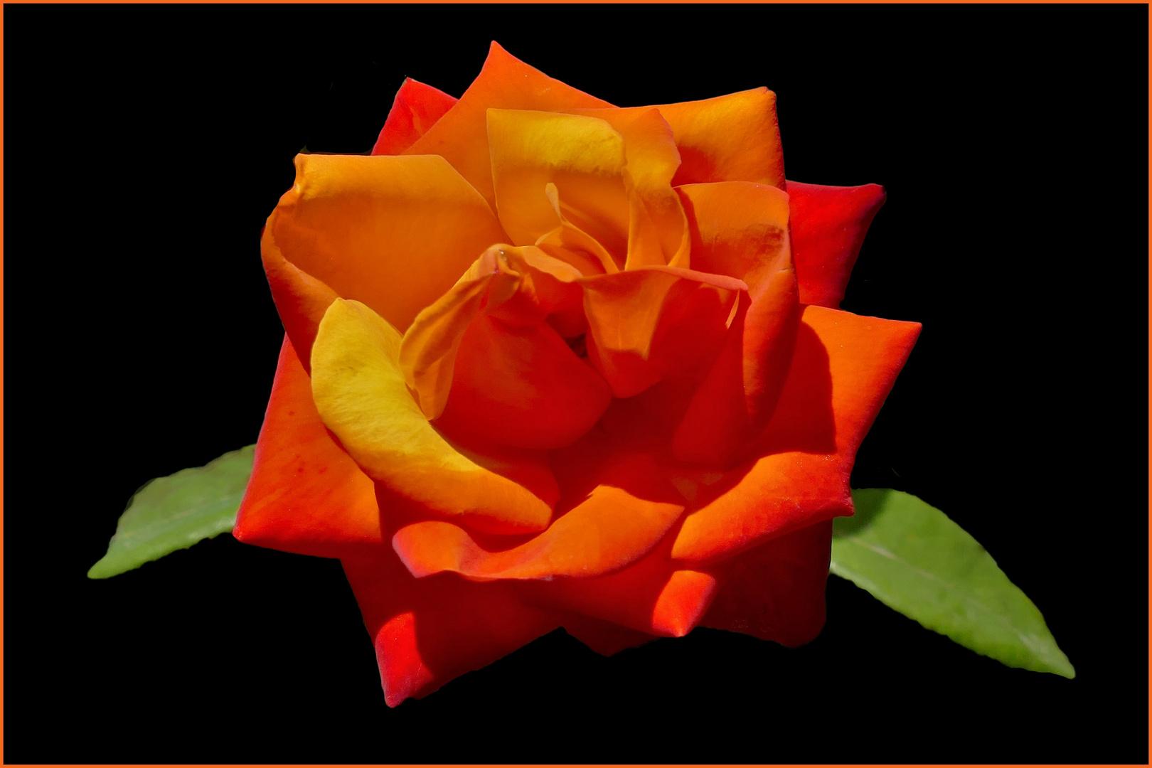 une rose aux couleurs du feu....