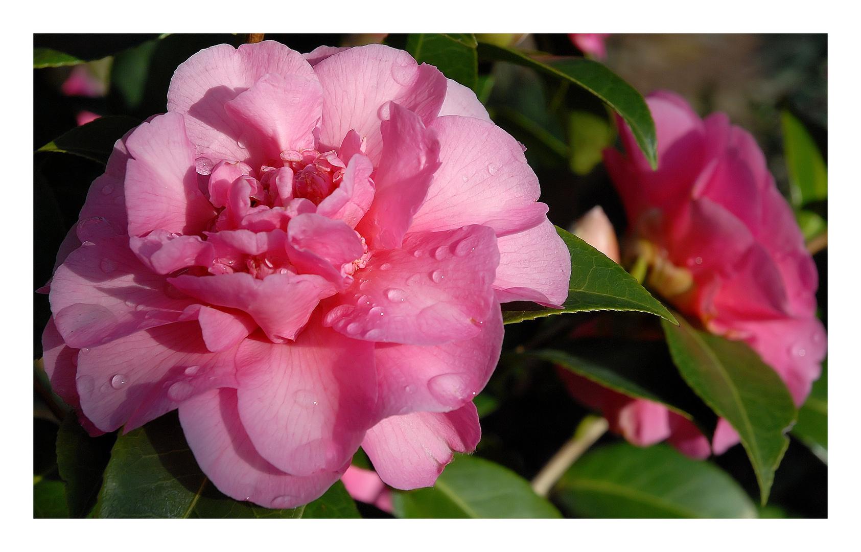 Une rose d'hiver