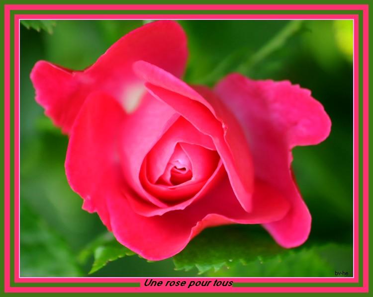 une rose pour tous