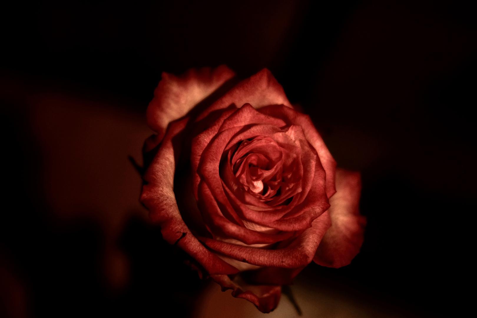 une rose pour un rêve