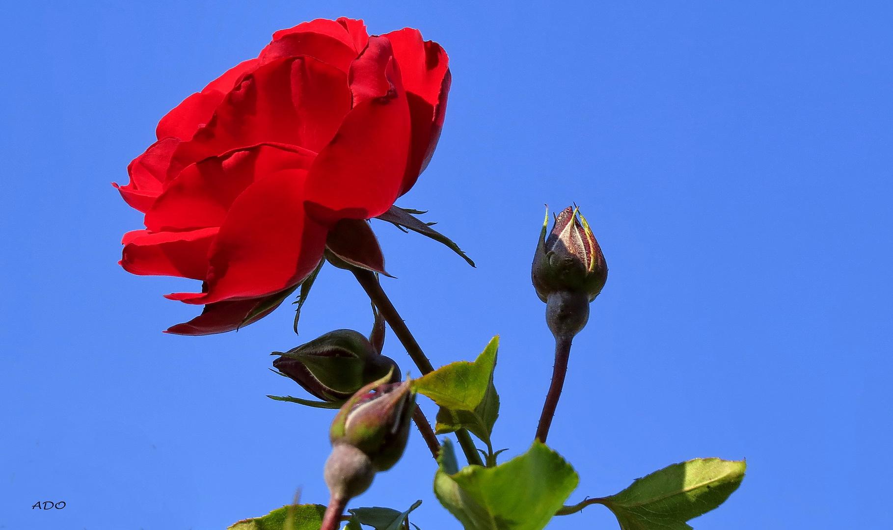 une rose rouge