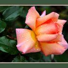 Une rose tout simplement...