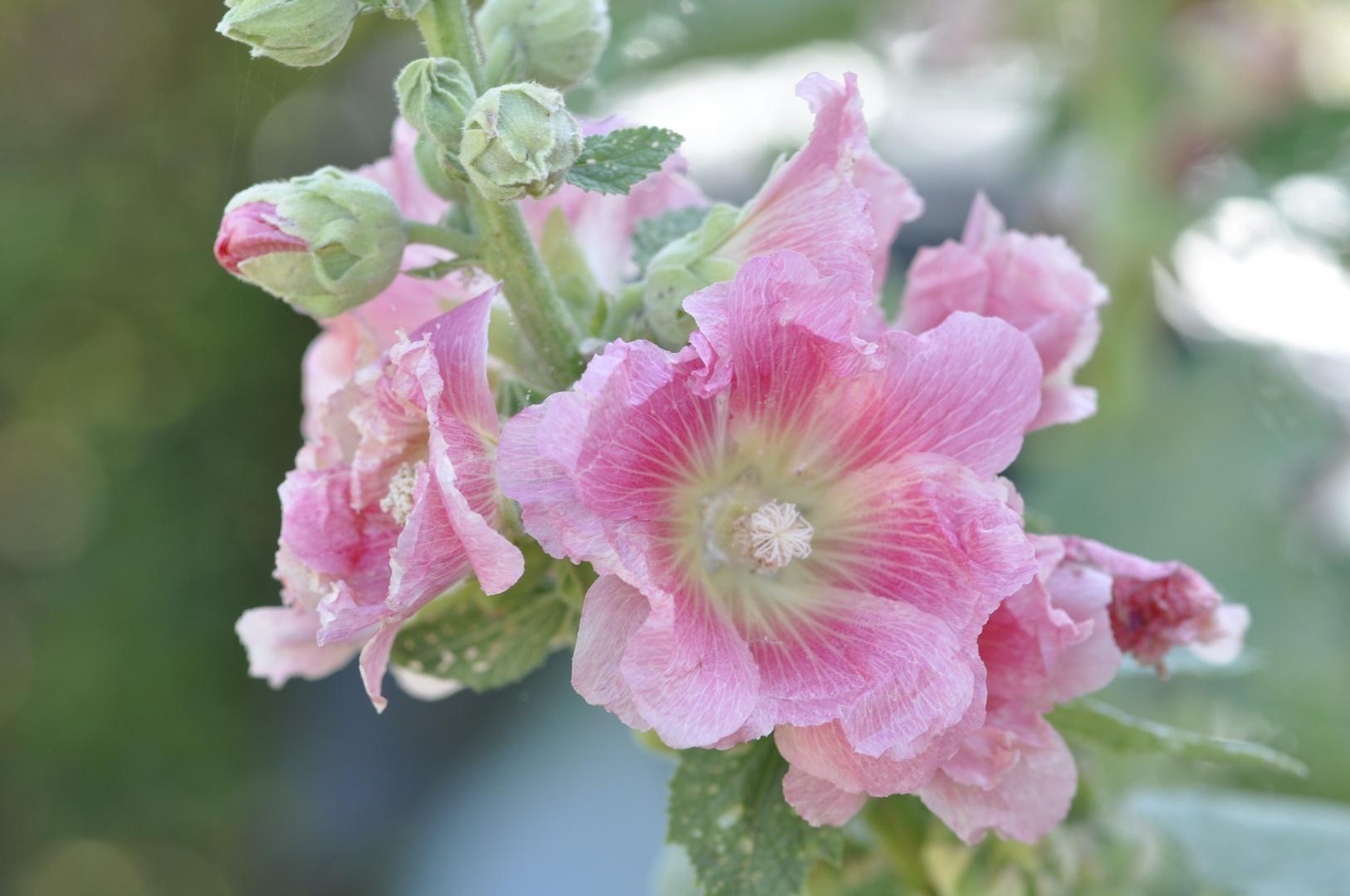 Une rose trémiere