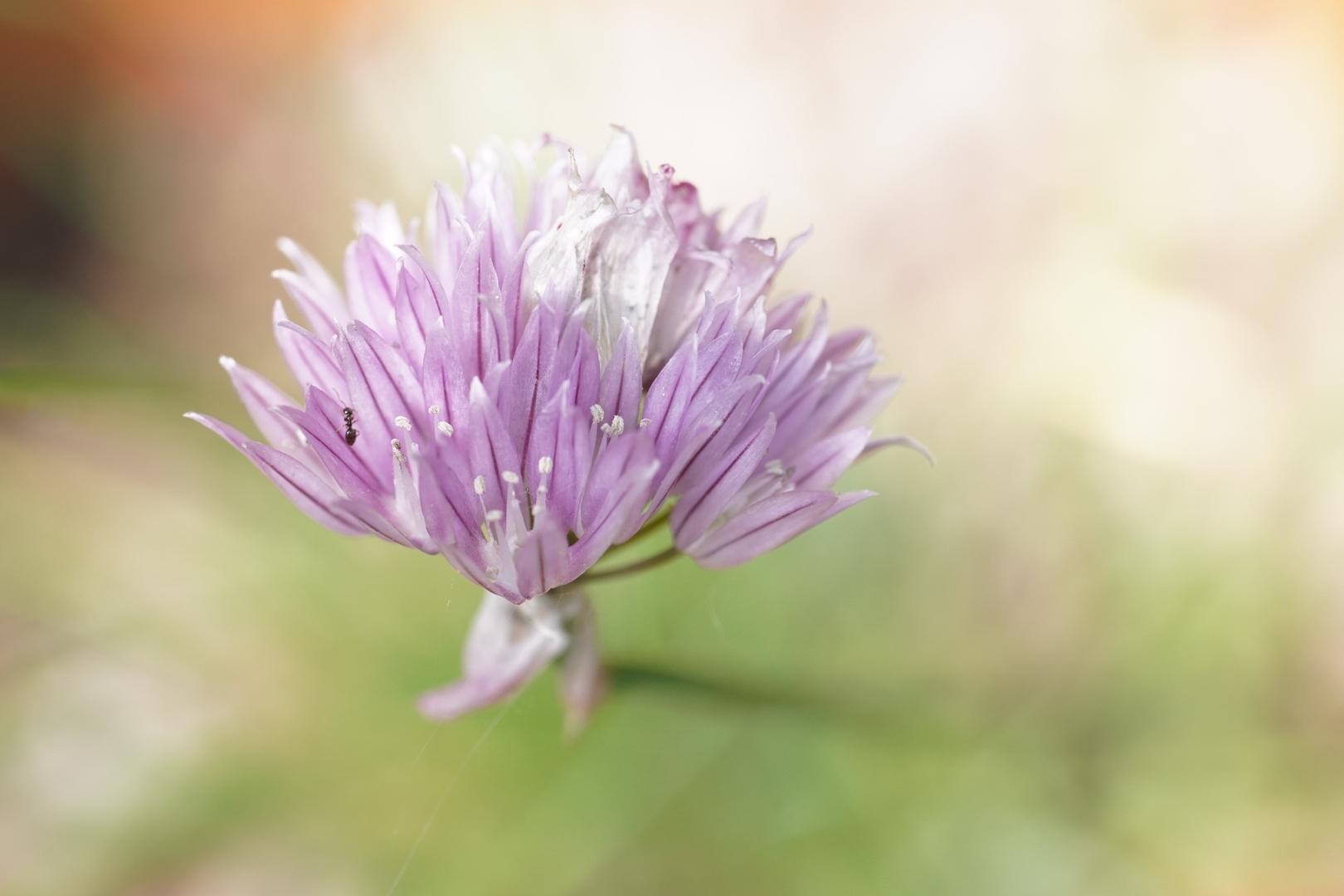 Une simple fleur de ciboulette