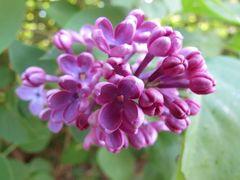 ..Une simple fleur de Lilas..