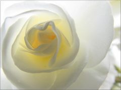 ..Une simple rose, dans le jardin..