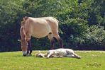 Ungarische Wildpferde - Schlaf im Schutz der Mama