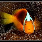 unidentified clownfish