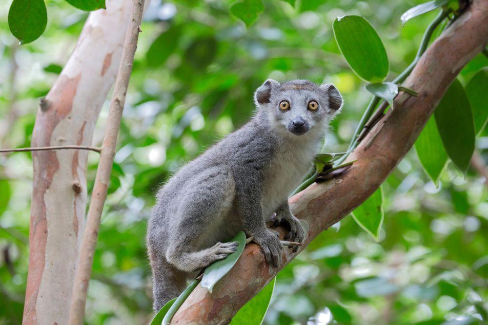 Unique Madagascar Lemuren