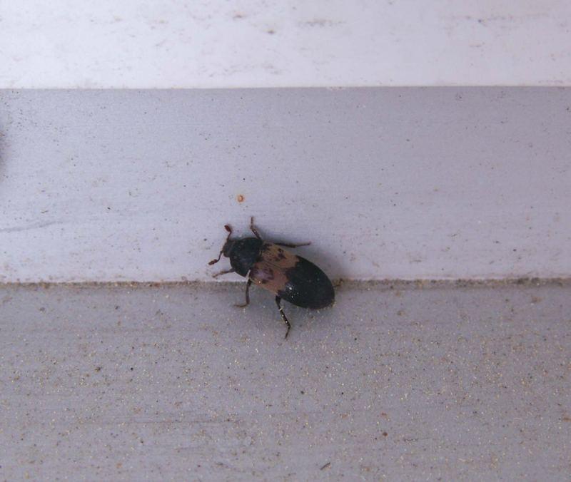 - unknown beetle -