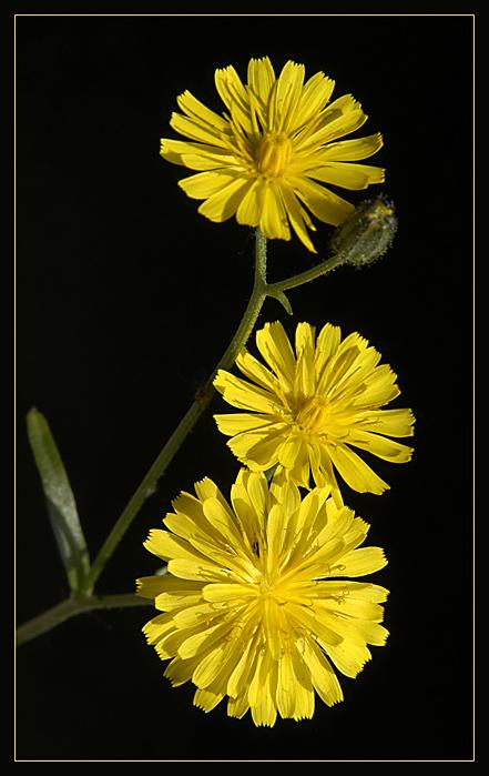 unkraut in gelb foto bild pflanzen pilze flechten. Black Bedroom Furniture Sets. Home Design Ideas