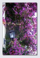 Unmenge von Bougainvilea Blüten!!!!