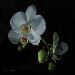 Un'Orchidea bianca