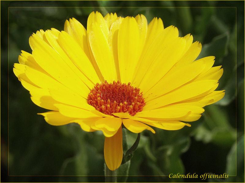 Unperfekte Calendula officinalis (Ringelblume)