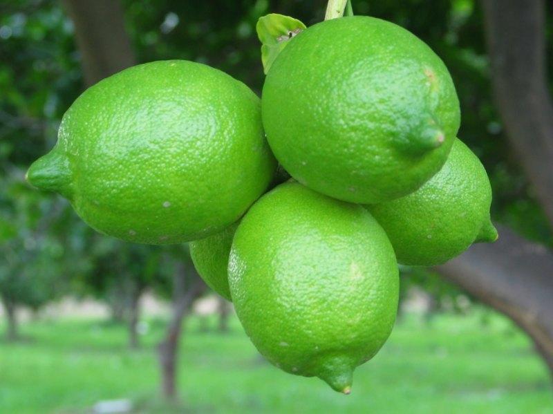 Unreife Zitronen am Baum