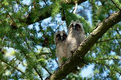 Uns ist laaangweilig... Ästlinge der Waldohreulen (Asio otus)