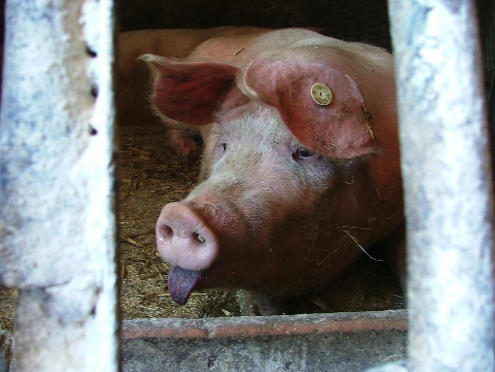 (Un)schöne Schweinerei!