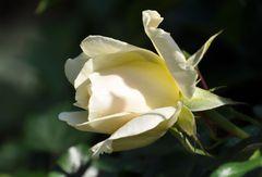 unschuldsweiße Rosenblüte