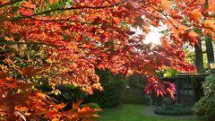 Unser Ahorn-Baum im abendlichen Sonnenlicht