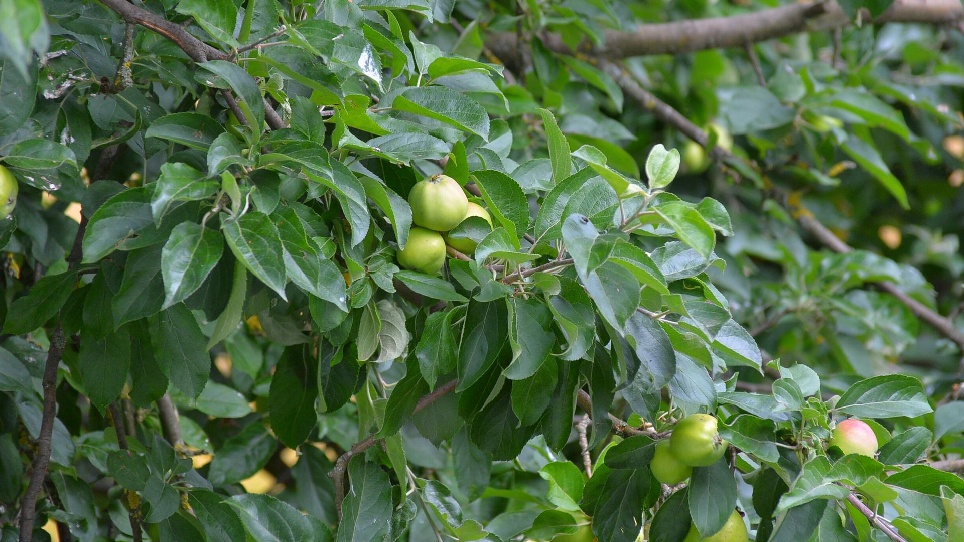 unser Apfelbaum (nuestro manzano)
