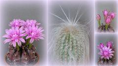 Unser fleißigster Kaktus 2014