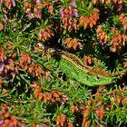 Unser Gartendrache - Zauneidechse Männchen im Hochzeitskleid