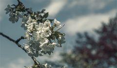 Unser Kirschbaum